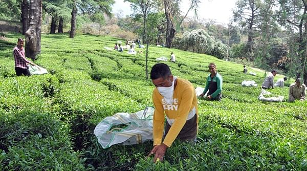 Himachal tea growers suffer losses
