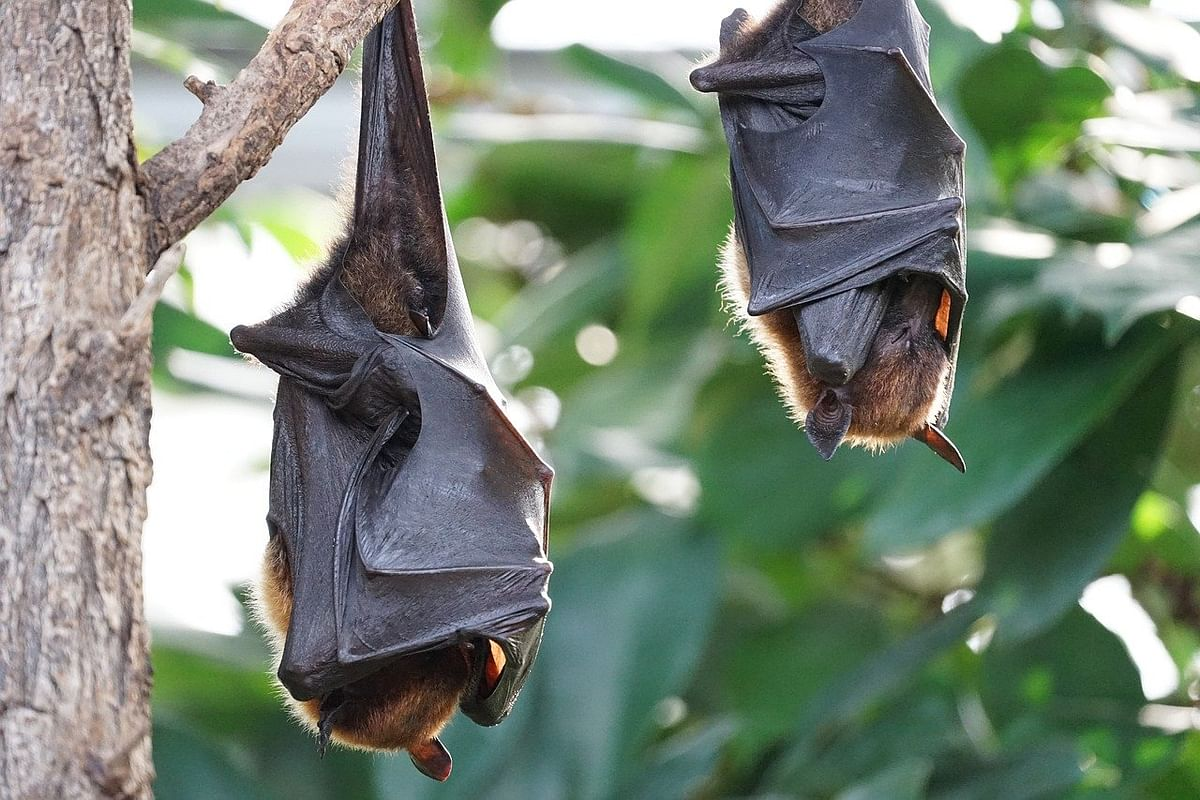 Here's all you need to know about the coronavirus-carrier Indian bat species