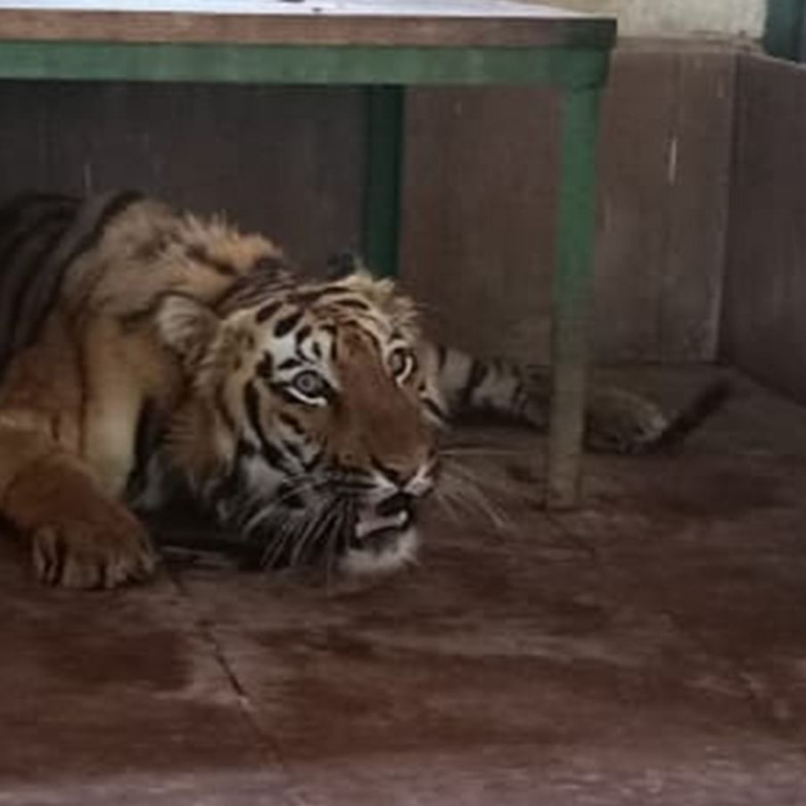 Indian tiger sentenced to 'Umr Kaid' for being 'too dangerous'