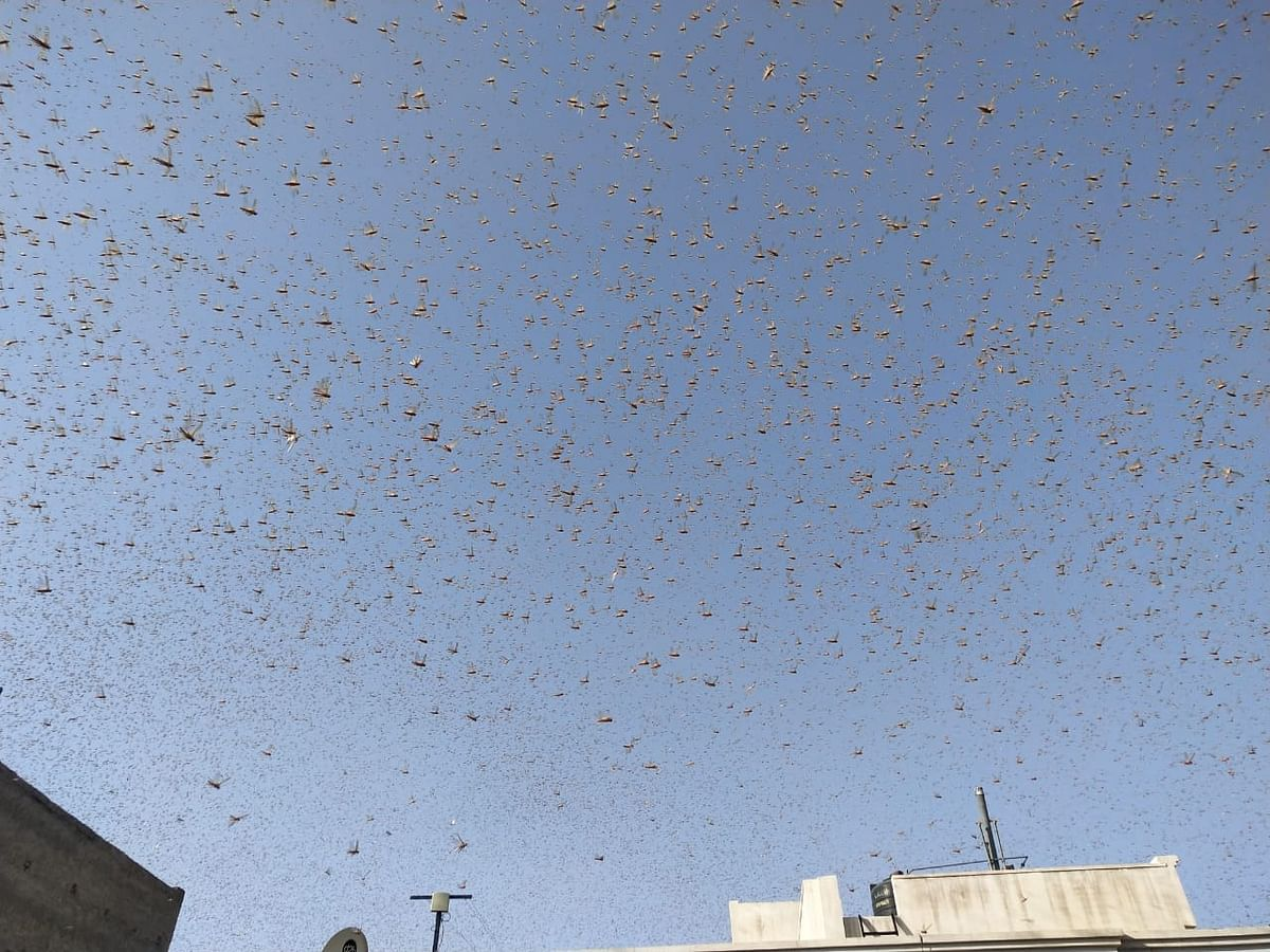 What's going on 2020? Amid coronavirus and Cyclone Amphan, locust plague hits Rajasthan