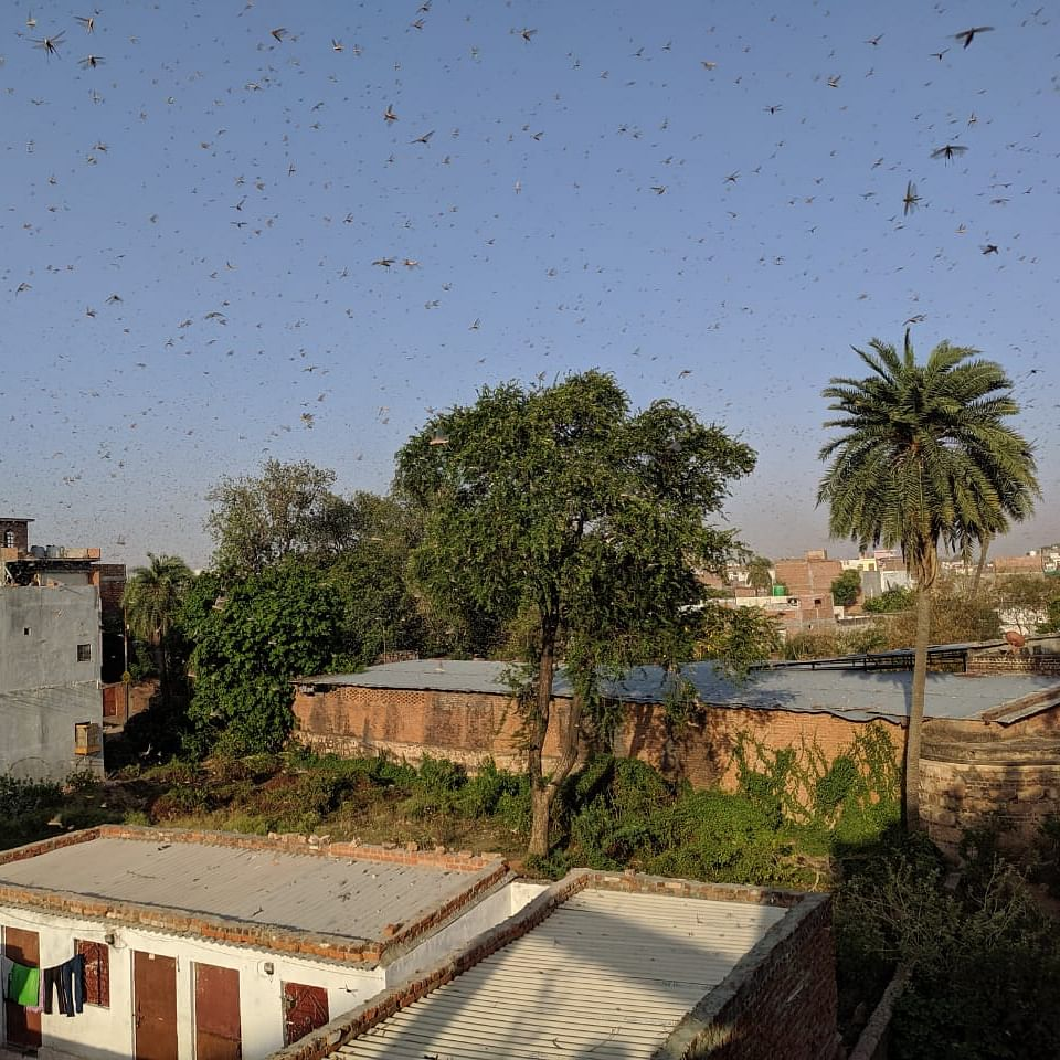 After Rajasthan and Madhya Pradesh, swarm of locusts now flock to UP's Jhansi