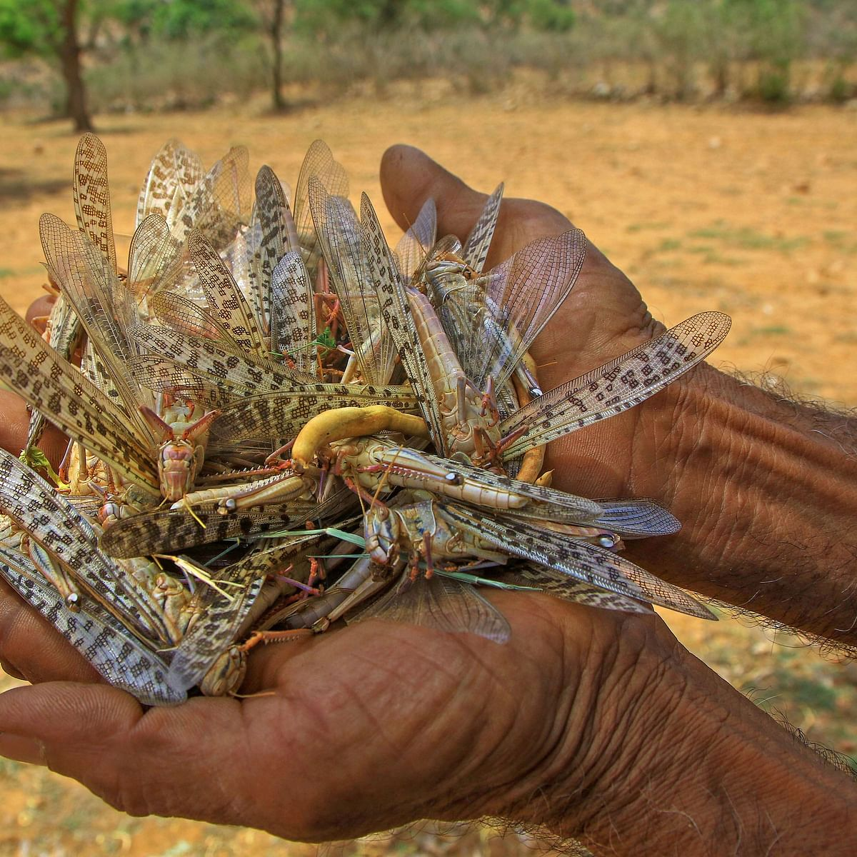 In country's worst case of locust infestation in three decades, Palghar is now on high alert