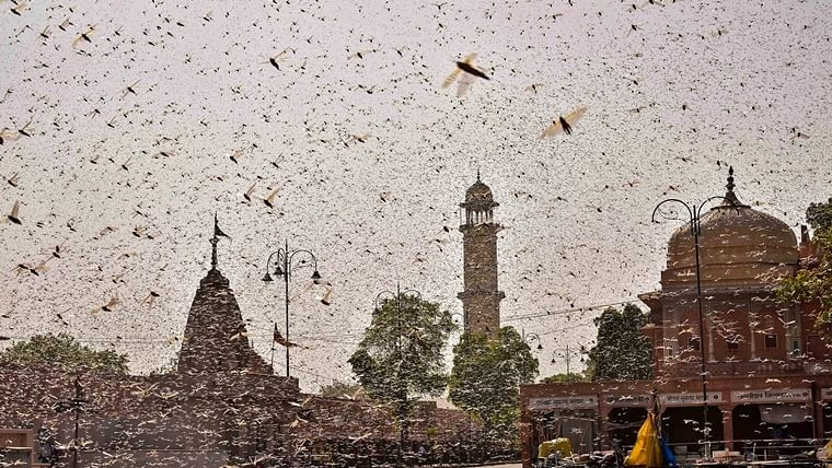 What is locust plague? All you need to know swarms of desert locusts which swept Gurugram