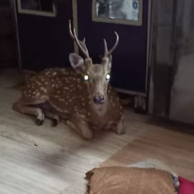 Proof that Santa's Maharashtrian? Deer comes crashing through roof of Powai home