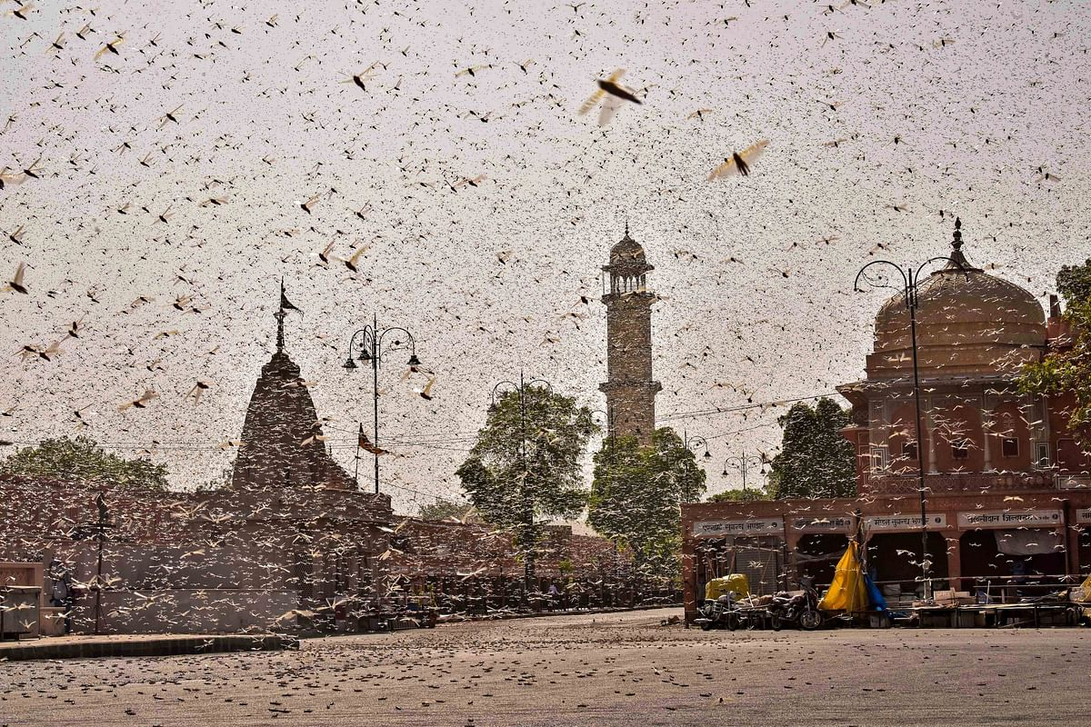 Swarms of locust attack Rajasthan, Maharashtra, MP, and UP: How these states are tackling another crisis amid the pandemic