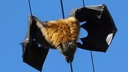 Power cuts in Indore? Madhya Pradesh Power Distribution Company blames bats for hanging onto supply lines