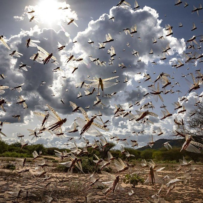 Swarms of locust still active in 15 districts of Rajasthan, Madhya Pradesh