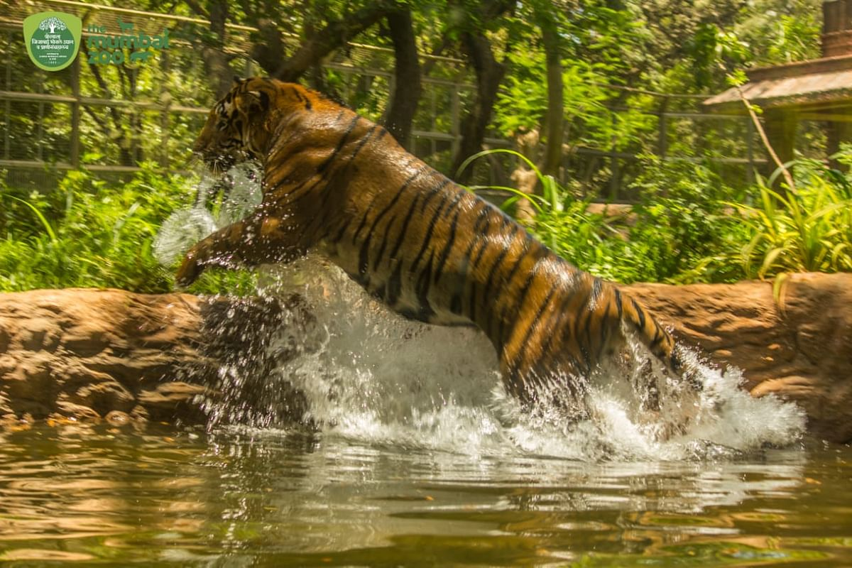 Majestic tiger Shakti is grace personified in first of its kind water enclosure in India