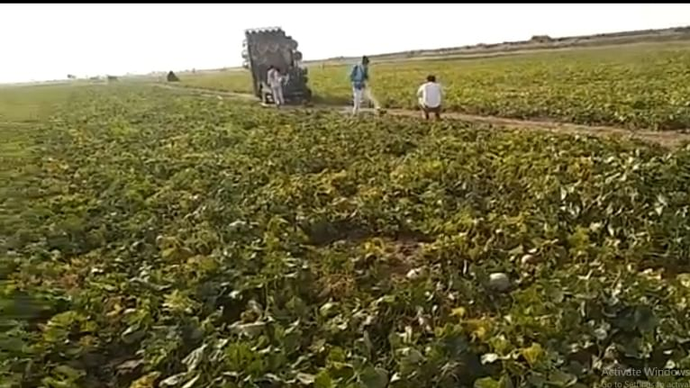 Indore: Soybean crop production likely to be lower in division