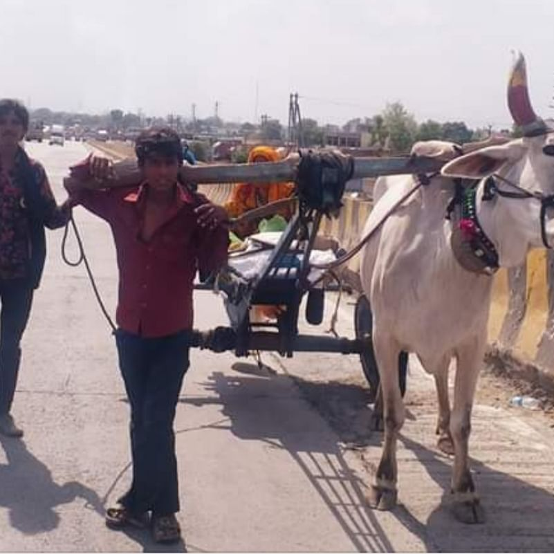 Indore: Amid lockdown, trader forced to do bull's job to avoid starvation