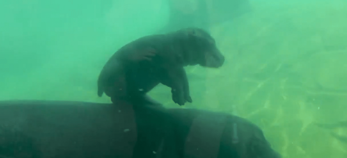 Watch: Adorable baby Hippo goes for swim in France's Beauval zoo; internet falls in love with the new guest