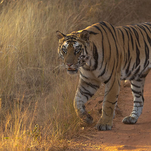 10-year-old captive Bengal tiger dies due to malignant cancer in Sanjay Gandhi National Park