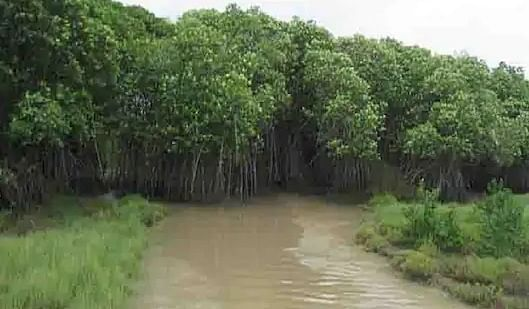 Mangrove withstood cyclone Amphan, saved Bhitarkanika national park