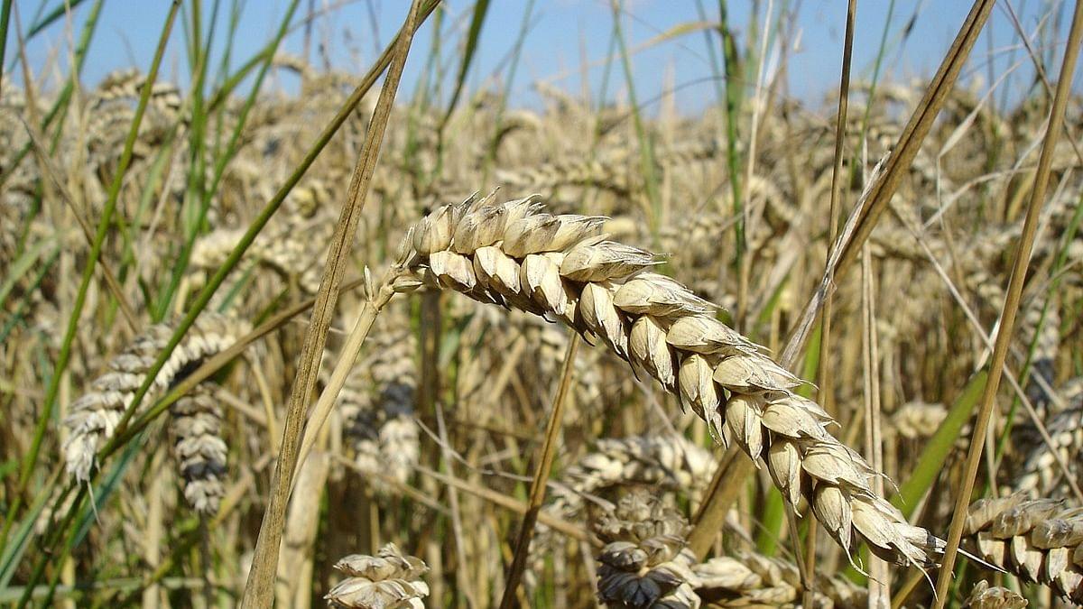 Wheat/ Representative Pic