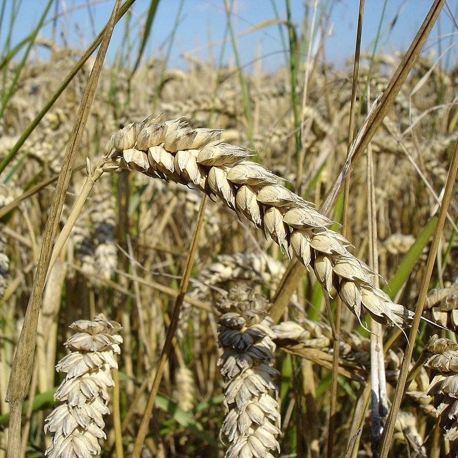 Indore: Wheat prices remain steady, maize prices fall in Bihar's Purnea market due to weak demand