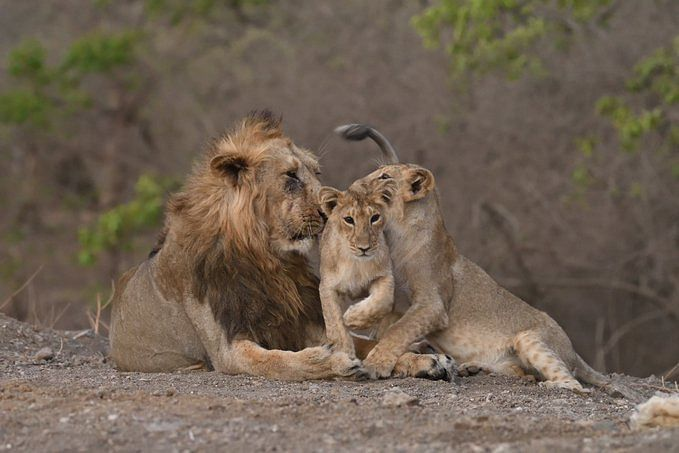 PM Modi hails Gujarat's lion population for growing by 29%, hopes they keep it up