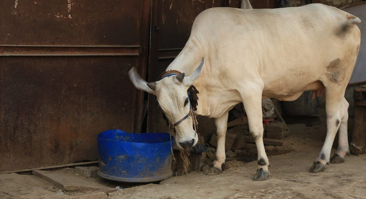 Now, cow's jaw severely injured after eating explosives wrapped in food in Andhra Pradesh