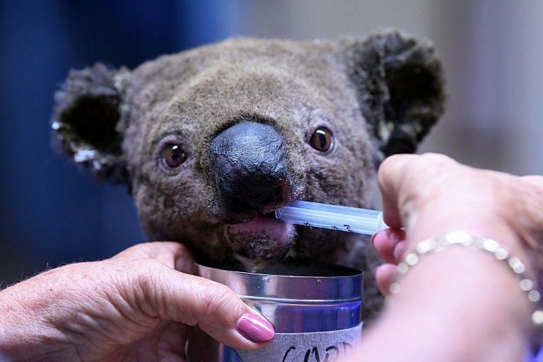Now it's high time to save Australia's koalas