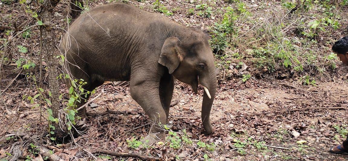Chhattisgarh: Elephant calf found dead; tall claims of effective conservation plan under scanner