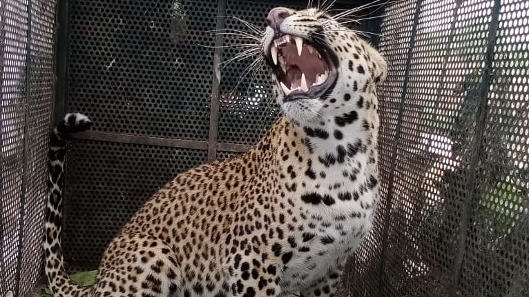 Forest department rescues leopard who strayed into IIT Indore campus; watch video
