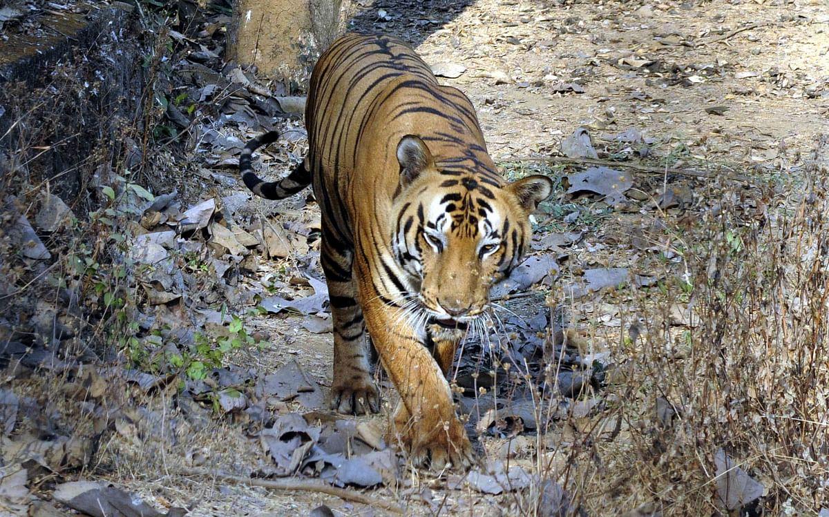 Captive Royal Bengal tiger at SGNP succumbs to cancer