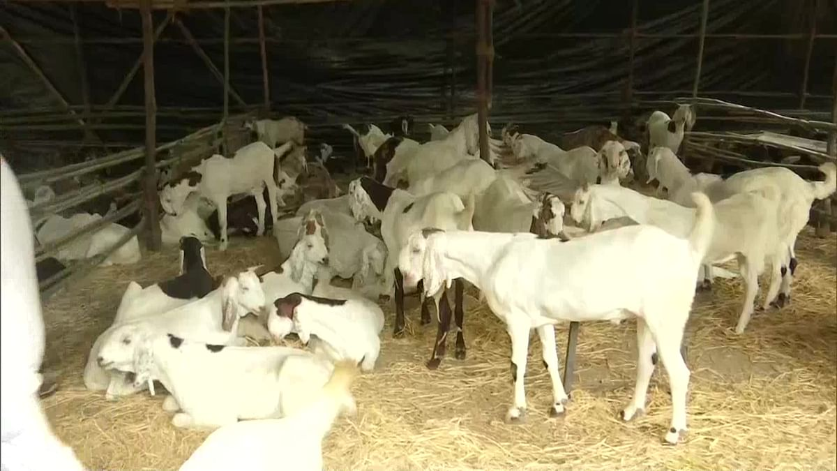 Bakra sales matter: Mumbai-based seller puts pictures of goats online ahead of Eid ul-Adha