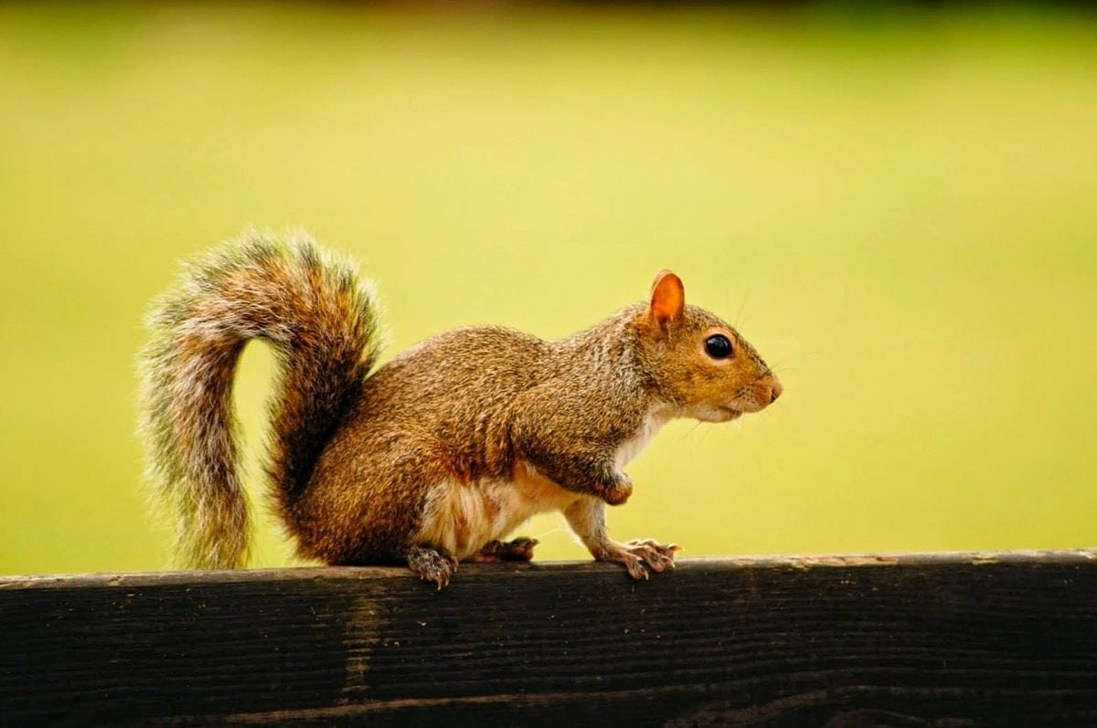 In Colorado, squirrel tests positive for bubonic plague