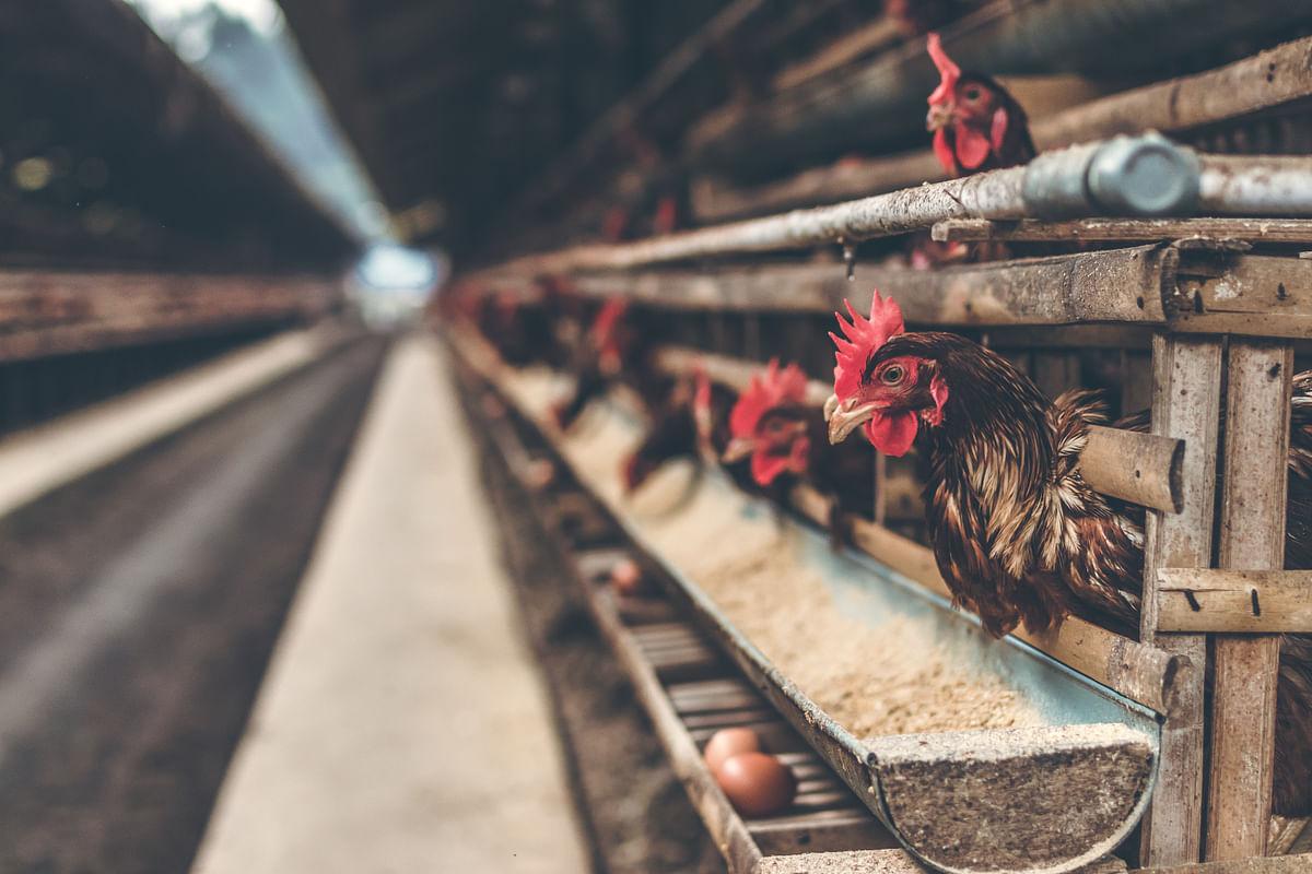 Representational image /Poultry farm