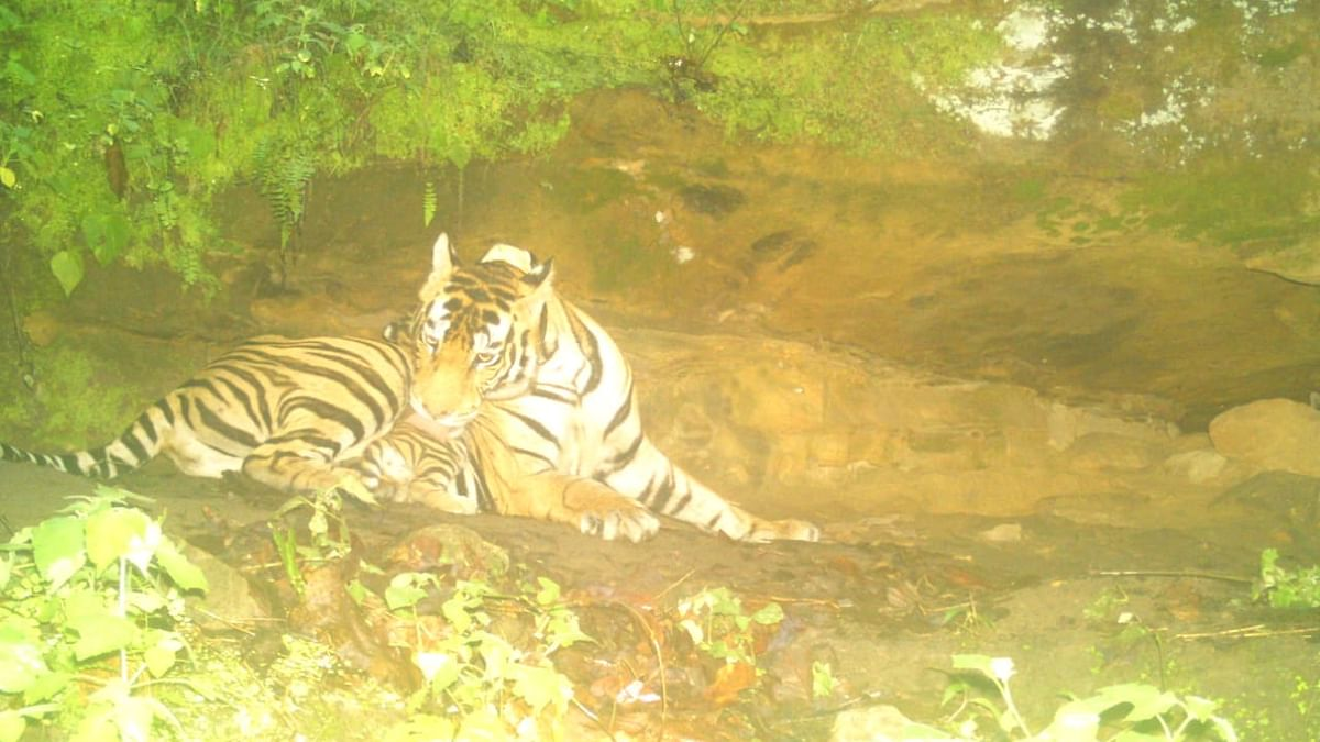 Tigress T21 transformed from man-eater to a caring mother