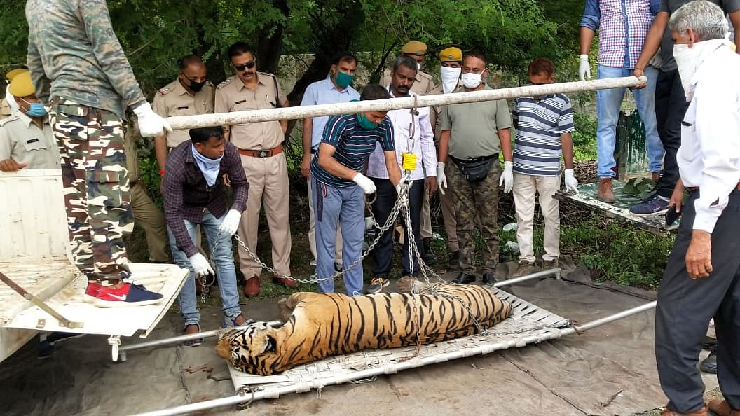 A tale of heartbreak: Tiger who walked 150 km to meet its mate found dead