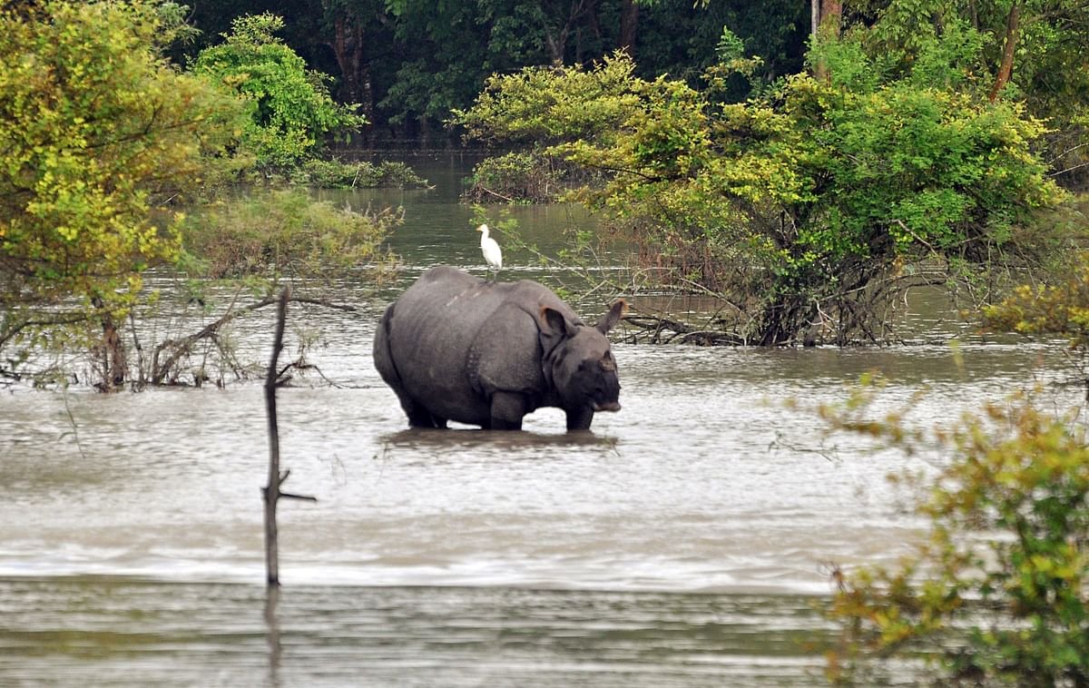 A one-horned rhinoceros wades through the floodwater inside the Pobitora Wildlife Sanctuary at Morigaon district, in Guwahati on Thursday.