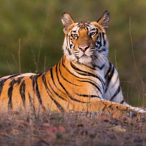 Tigress captured in Maharashtra forest division after killing woman