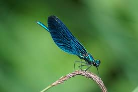 'Nearly extinct' damselfly species found near Satara dam
