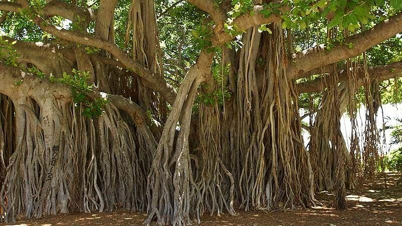 Still standing: 400-year-old banyan tree in Sangli escapes the axe