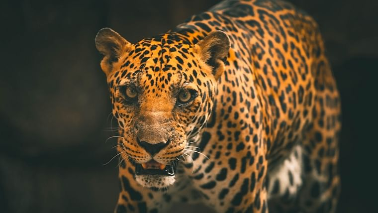 Thane: Leopard ventures in residential area, attacks dog; search on