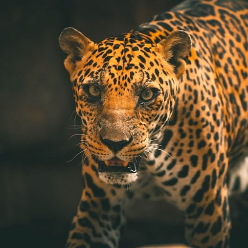 Indore: Leopard who was rescued has from Kampel has lost eyesight, says Doctor