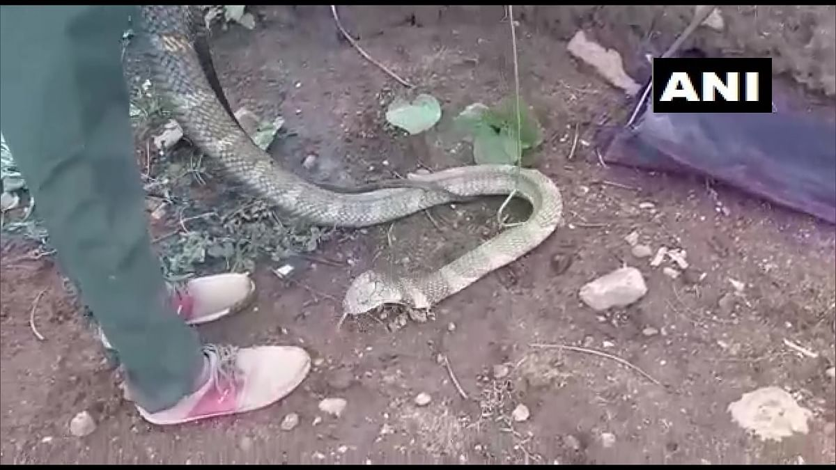 15-feet-long King Cobra rescued from Tamil Nadu village - check out pictures