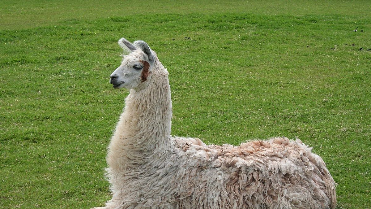 Antibodies from llamas can neutralise the coronavirus