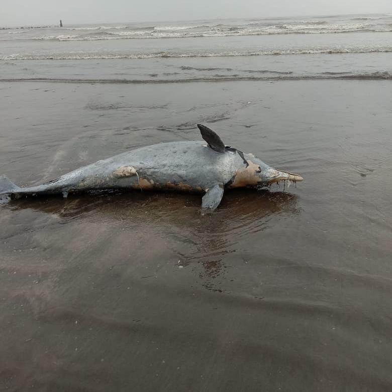 Mumbai: Dead dolphin washed ashore at Uttan near Bhayandar