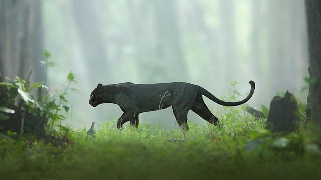 Check out majestic images of Bagheera - the Black Panther - roaming around in Karnataka's Nagarhole Tiger Reserve