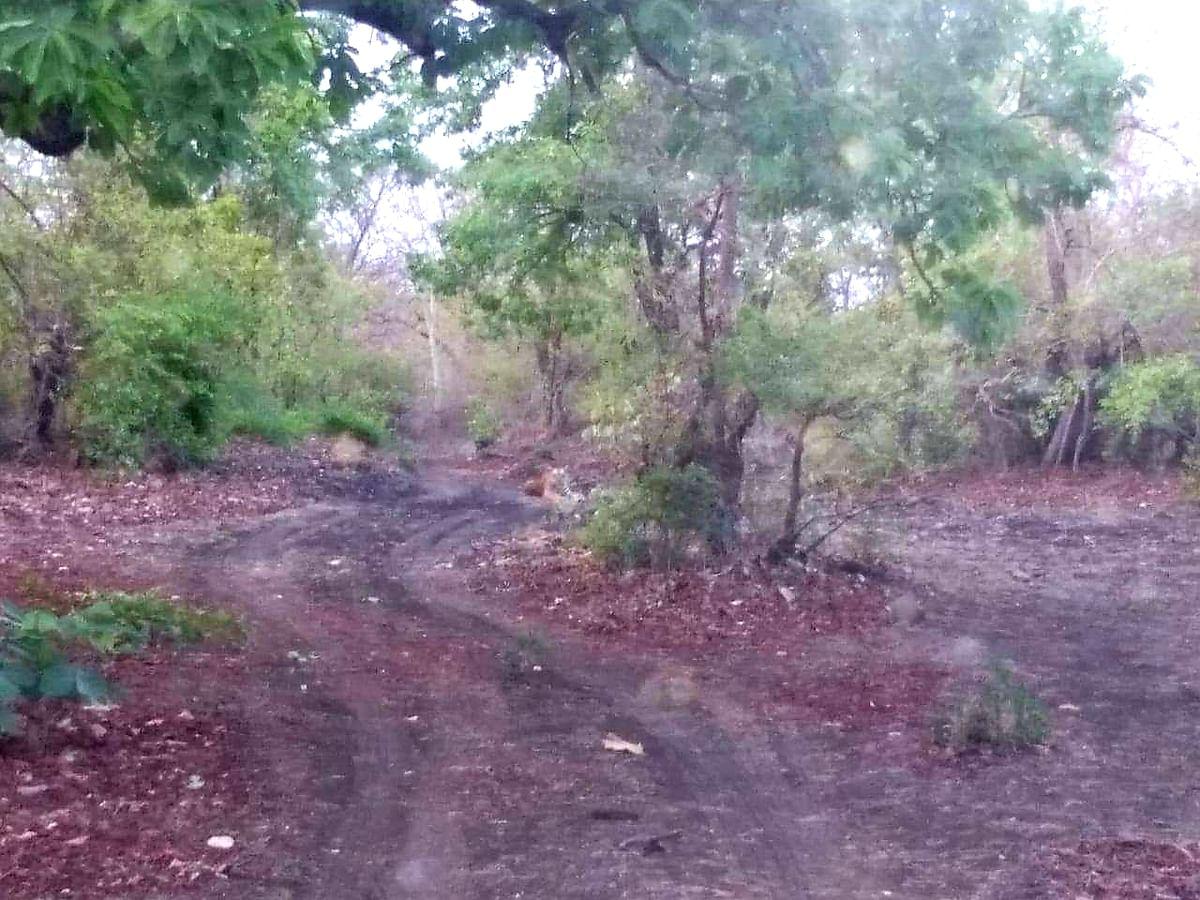 Indore: Road to tiger doom