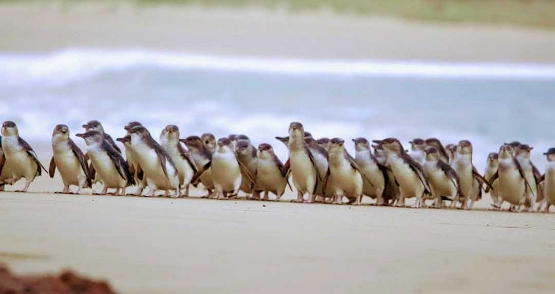 Watch Phillip Island's much-loved Penguin Parade from your living room
