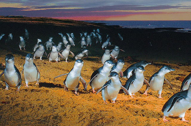 Penguin parade attracts 770,000 people online