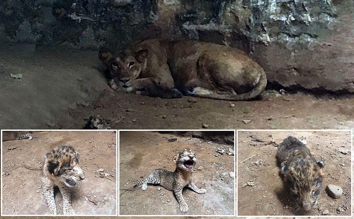 Pari, a tigress gave birth to 3 tiger cubs last night, at Gandhi Prani Udhyan Zoo in Gwalior on Friday.