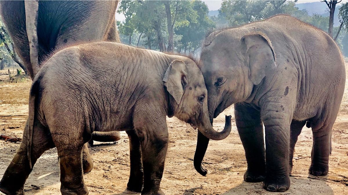 Two baby elephants (a brother and sister) were seen sharing a loving moment and playing recently in Bandhavgarh National Park