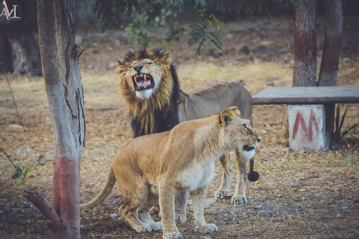 The park sent samples of 11 lions housed there to test for SARS CoV-2 four lions on May 24 and seven on May 29 to the ICAR-National Institute of High Security Animal Diseases (NIHSAD), Bhopal