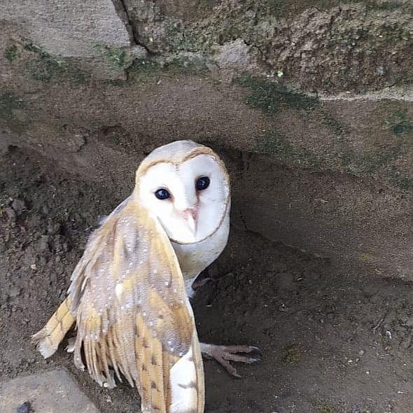 Madhya Pradesh: Barn owl found injured in Khandwa, rescued