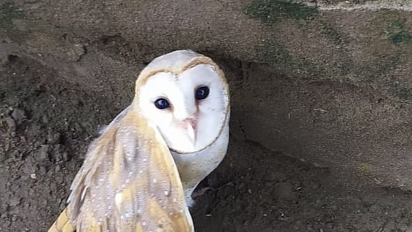 The rescued barn owl with a broken wing