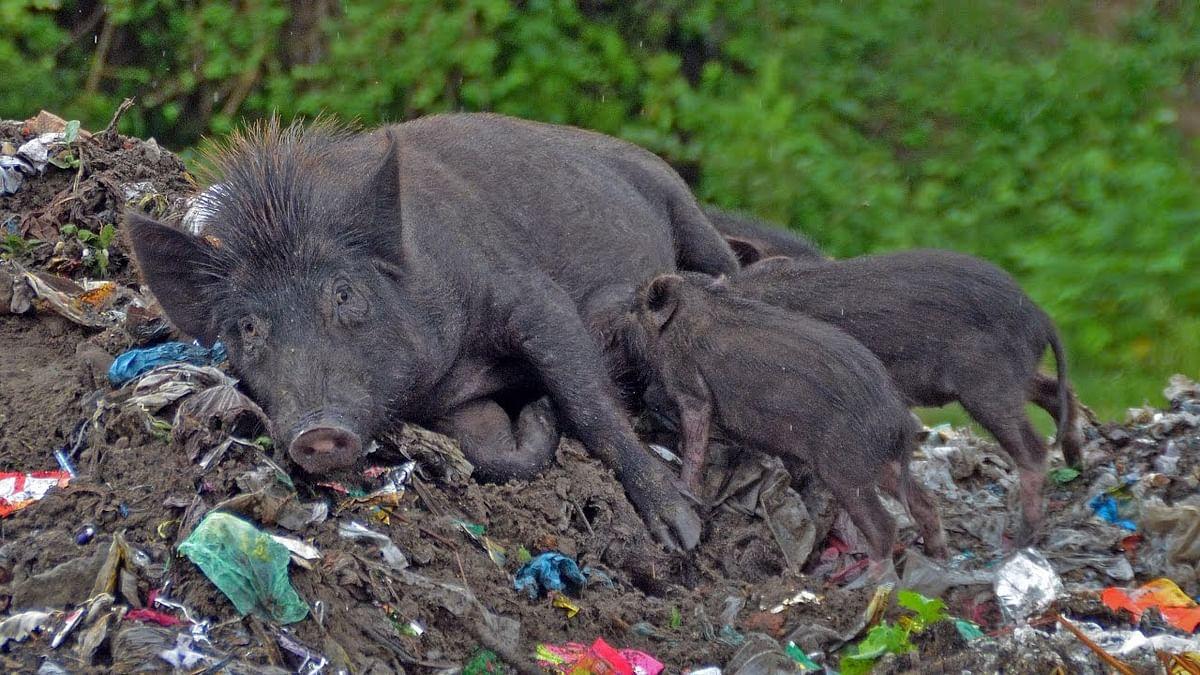 Madhya Pradesh: Shivpuri looking for shooters to kill 15000 stray pigs, issues nationwide tender