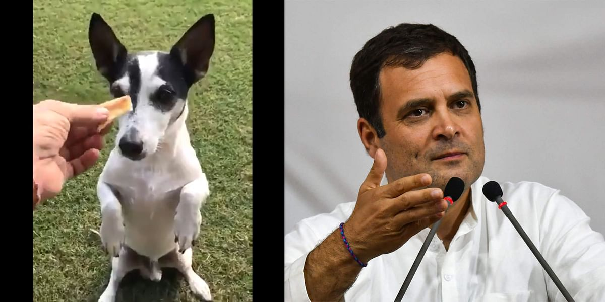 International Dog Day 2020: Pidi, Rahul Gandhi's dog who became a meme